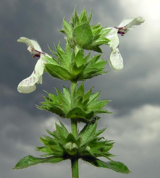 Stachys plumosa Griseb.