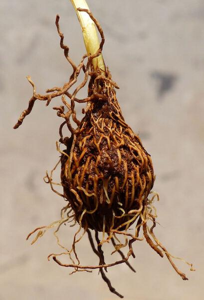 Crocus variegatus Hoppe & Hornsch.