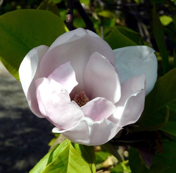 Magnolia 'Sunden Rosa'