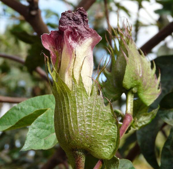Gossypium arboreum L.