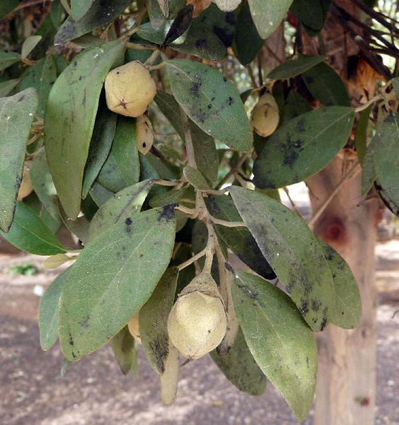Lagunaria patersonia (Andrews) G.Don