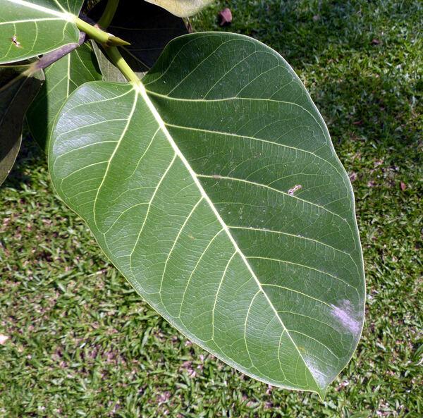 Ficus benghalensis L.