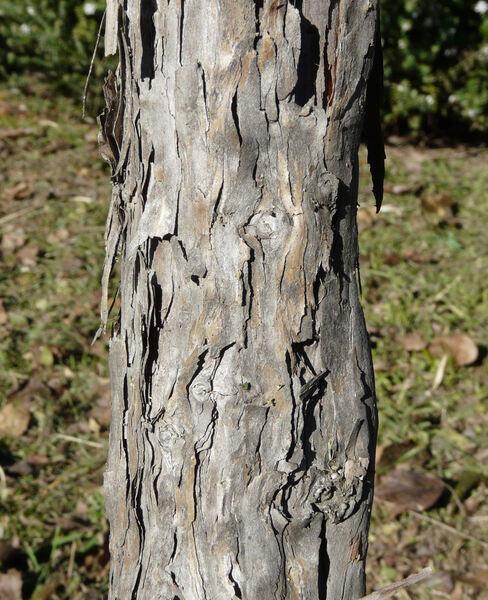 Callistemon pallidus (Bonpl.) DC.