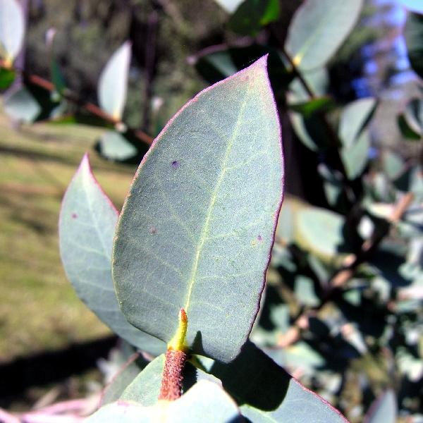 Eucalyptus coccifera Hook. f.