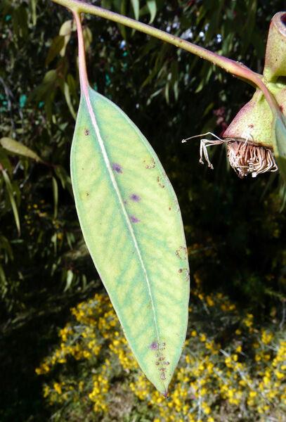 Eucalyptus cosmophylla F. Muell.
