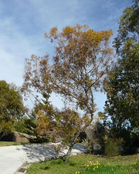 Eucalyptus megacornuta C.A. Gardner