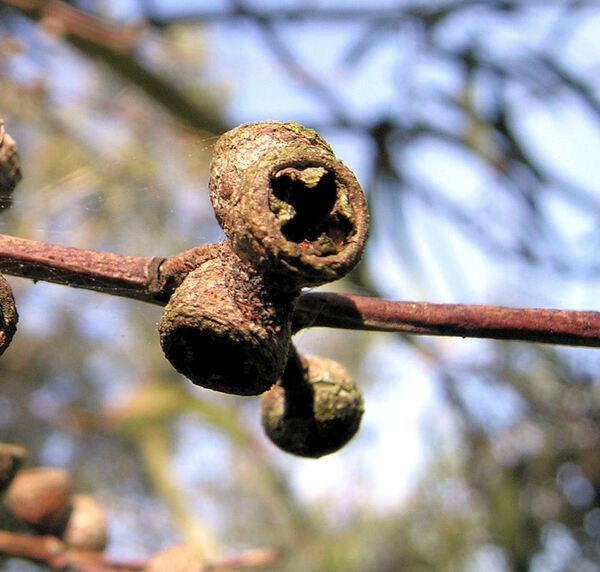 Eucalyptus parvula L. A. S. Johnson & K. D. Hill