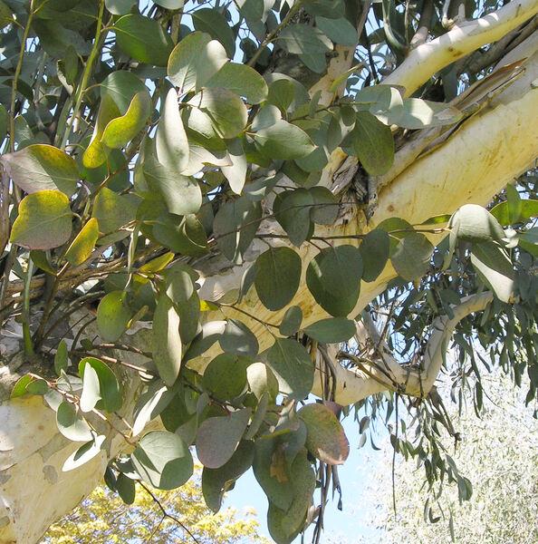 Eucalyptus pauciflora Sieber ex Spreng. subsp. debeuzevillei (Maiden) L.A.S. Johnson & Blaxell