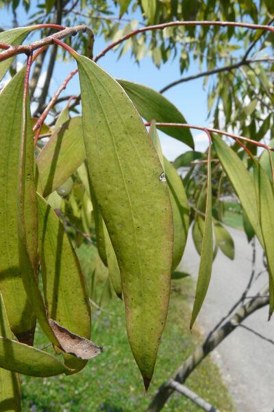 Eucalyptus stellulata Sieber ex DC.
