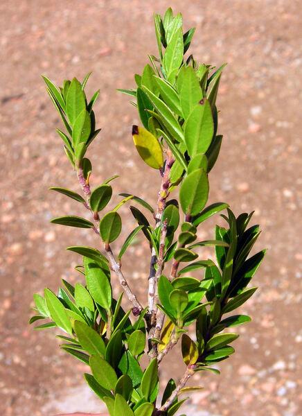 Myrtus communis L. v. microphylla Willk. & Lange