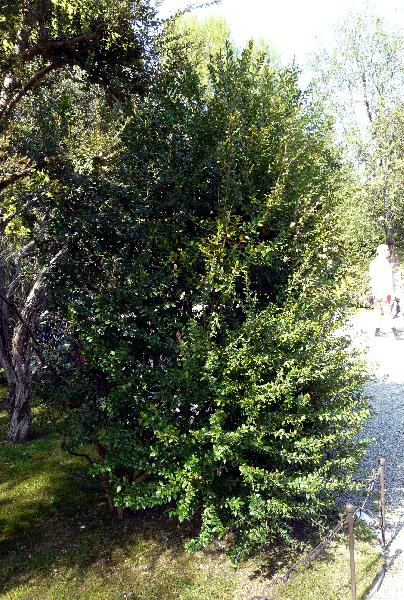 Myrtus communis L. 'Latifolia'