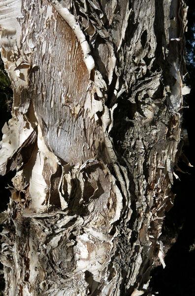 Melaleuca styphelioides Sm.