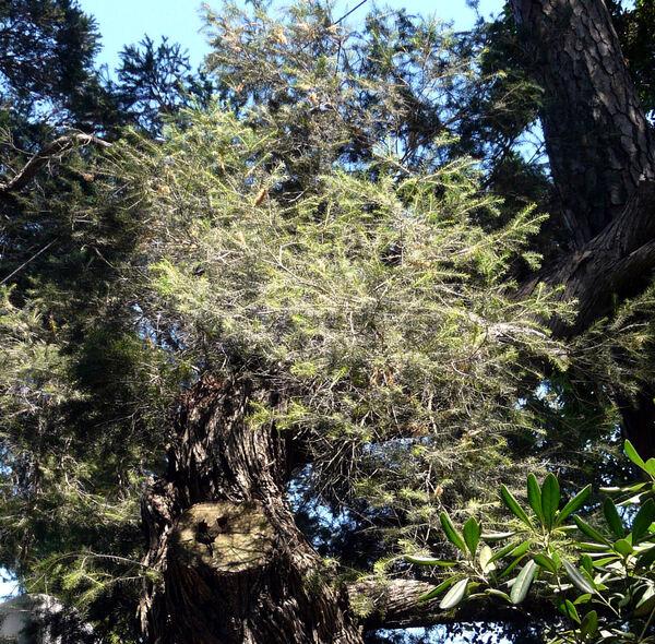 Melaleuca armillaris (Sol. ex Gaertn.) Sm.