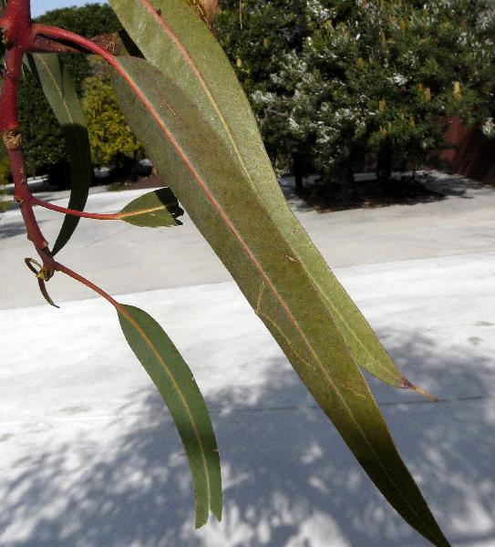 Eucalyptus erythrocorys F. Muell.