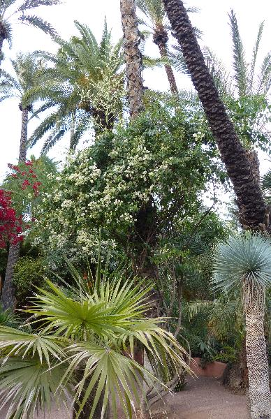 Bougainvillea glabra Choisy 'Alba'