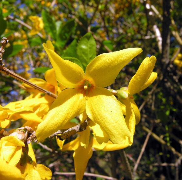Forsythia intermedia Zabel 'Arnold Giant'