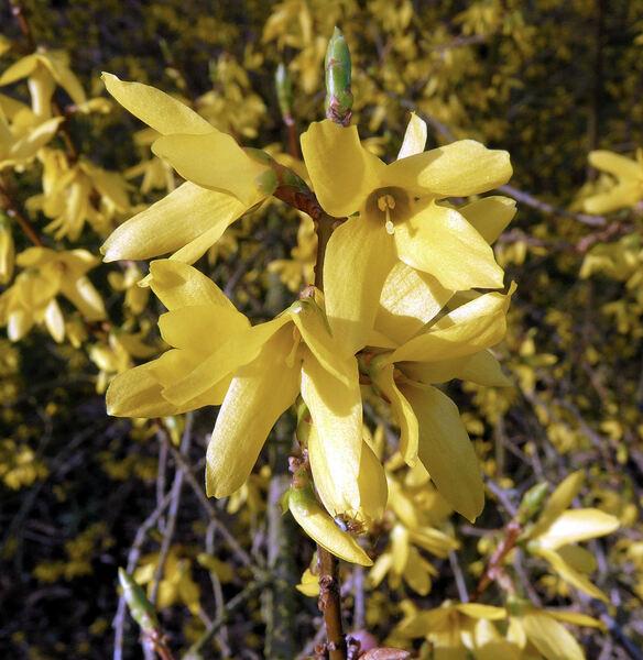 Forsythia intermedia Zabel 'Vitellina'