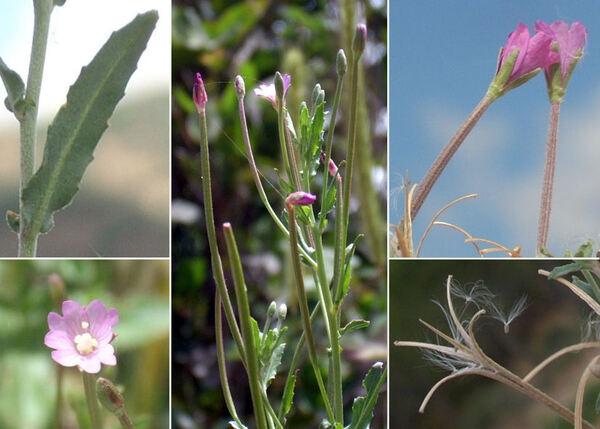 Epilobium tetragonum L. subsp. tournefortii (Michalet) H.Lév.