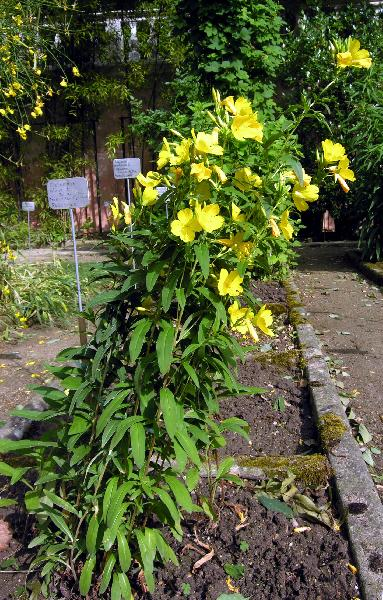 Oenothera fruticosa L.