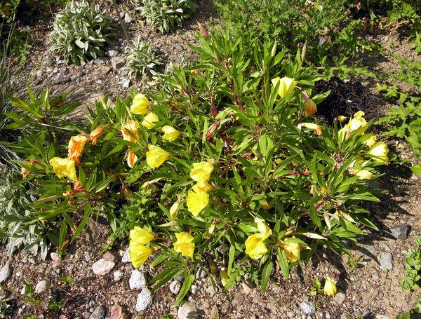 Oenothera macrocarpa Nutt.