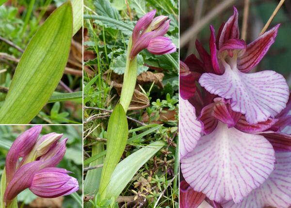 Anacamptis papilionacea (L.) R.M. Bateman, Pridgeon & M.W. Chase subsp. grandiflora (Boiss.) Kreutz