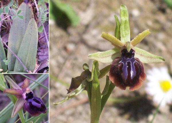 Ophrys panormitana (Tod.) Soó