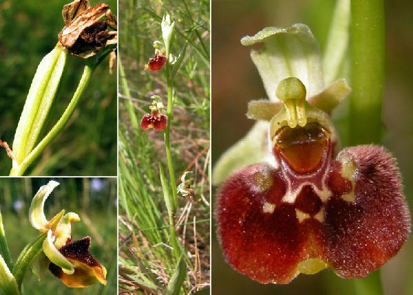 Ophrys sp.