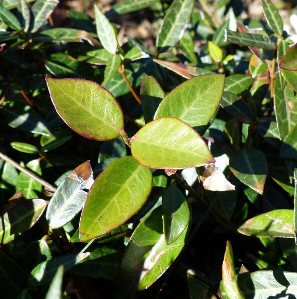 Trachelospermum jasminoides (Lindl.) Lem. 'Wilsonii'