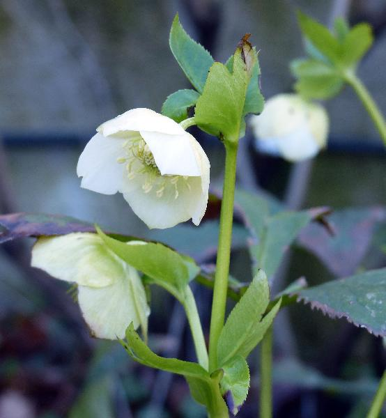 Helleborus orientalis L. 'Pure White Strain'