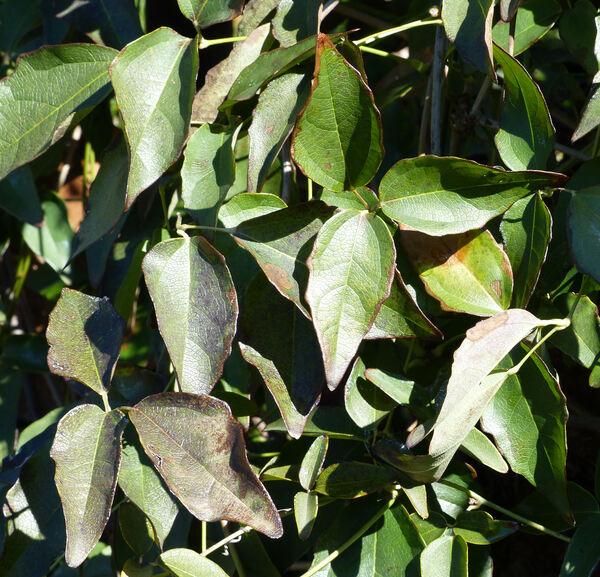 Akebia trifoliata (Thunb.) Koidz.