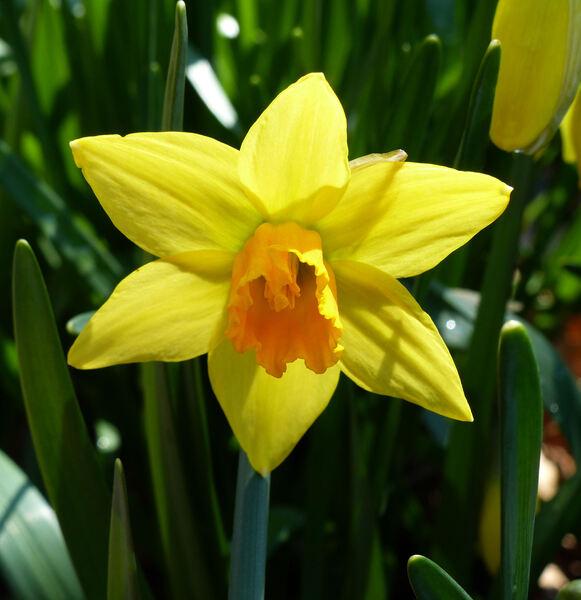 Narcissus cyclamineus DC. 'Jetfire'