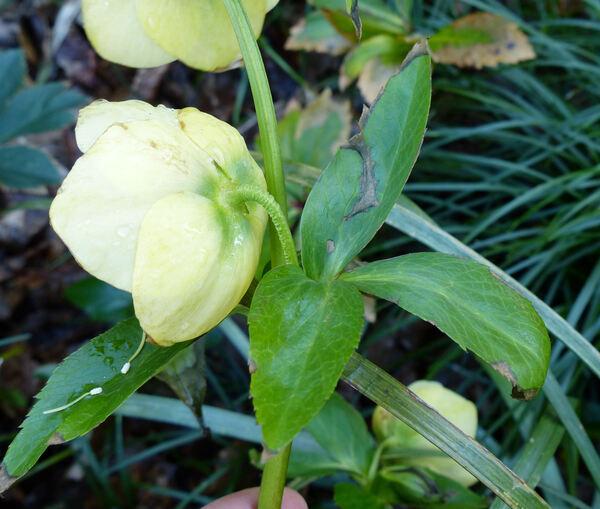 Helleborus orientalis Lam. 'Guttatus Yellow'