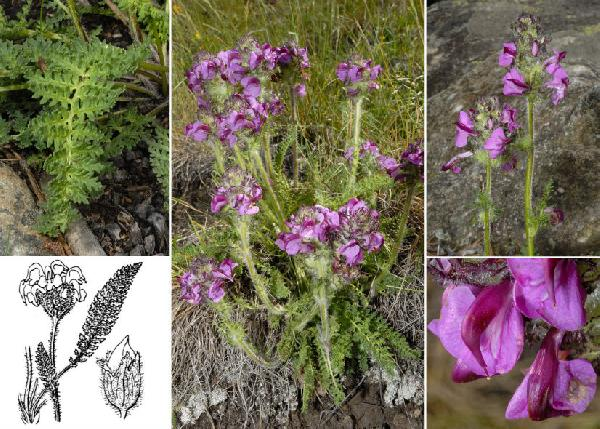 Pedicularis cenisia Gaudin
