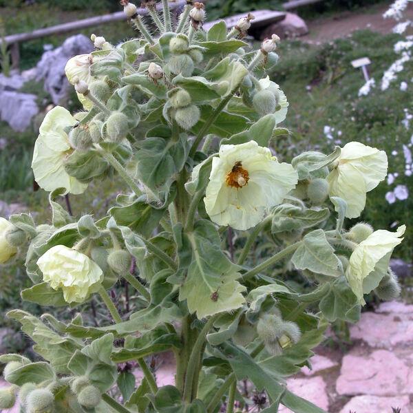 Meconopsis paniculata Prain