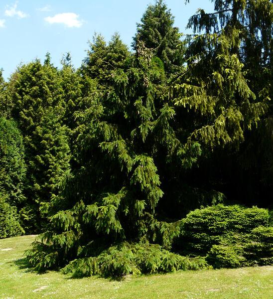 Picea abies (L.) H. Karst. 'Acrocona'