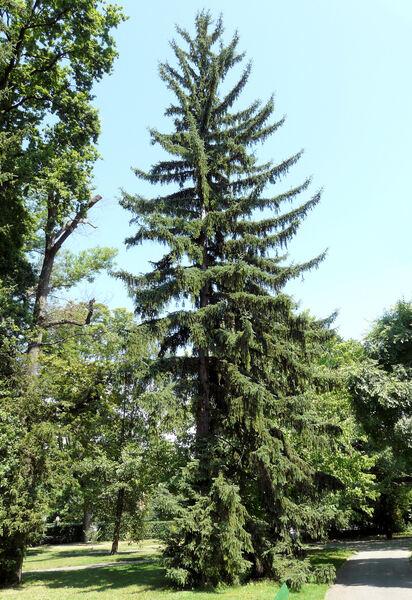 Picea koyamai Shiras.