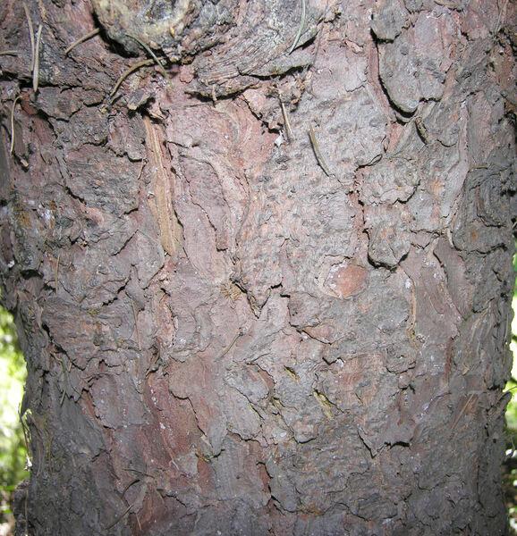 Picea schrenkiana Fisch. & C.A. Mey