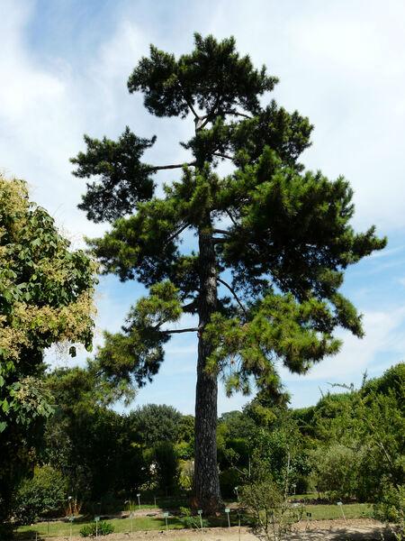 Pinus nigra J.F. Arnold subsp. laricio (Poir.) Maire var. corsicana (Loudon) Hyl.