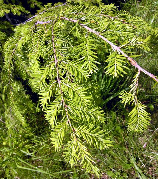 Tsuga heterophylla (Raf.) Sarg.