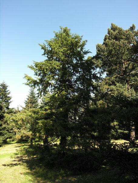 Tsuga canadensis (L.) Carrière 'pendula'