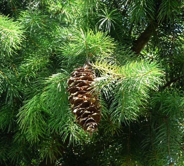 Pseudotsuga macrocarpa (Vasey) Mayr