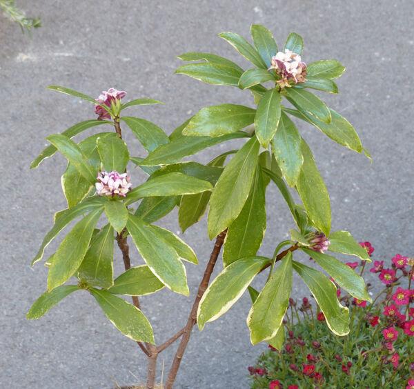 Daphne odora Thunb. 'Aureomarginata'