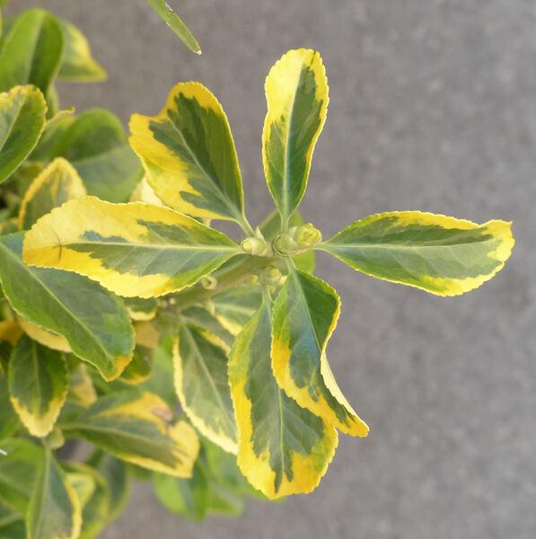 Euonymus japonicus Thumb. 'Aureomarginatus'