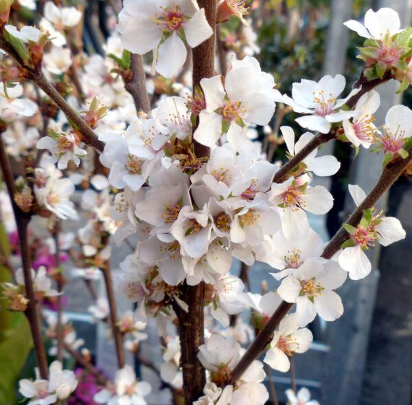 Prunus tomentosa Thunb.