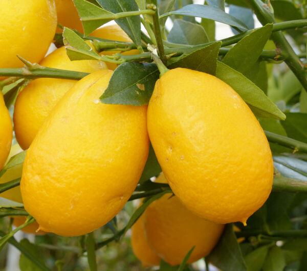 Citrus aurantifolia x fortunella 'Limequat'