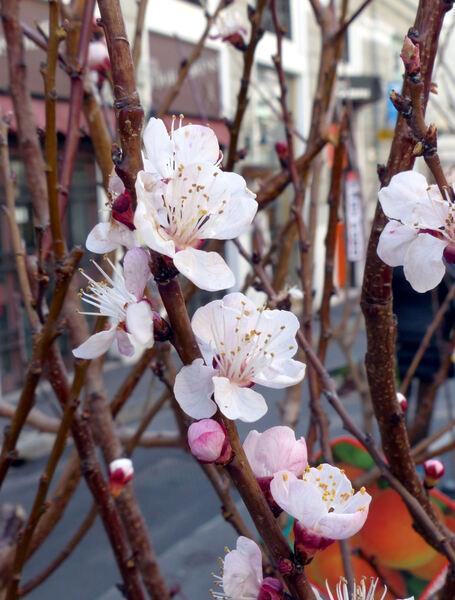 Prunus armeniaca L. 'Paviot'