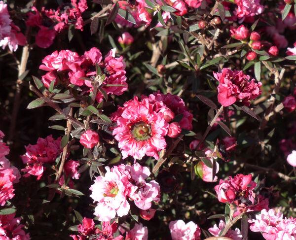 Leptospermum scoparium J. R. Forst. & G. Forst. 'Tea Tree'
