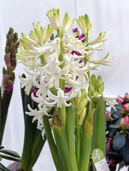 Hyacinthus orientalis L. 'White Pearl'