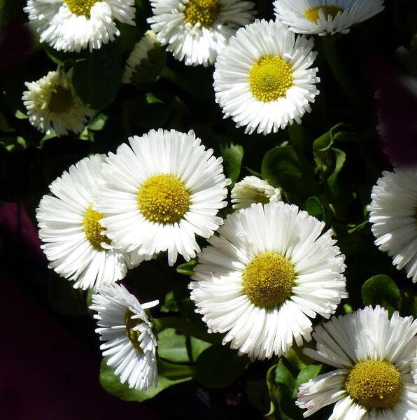 Bellis perennis L. 'Flore pleno'