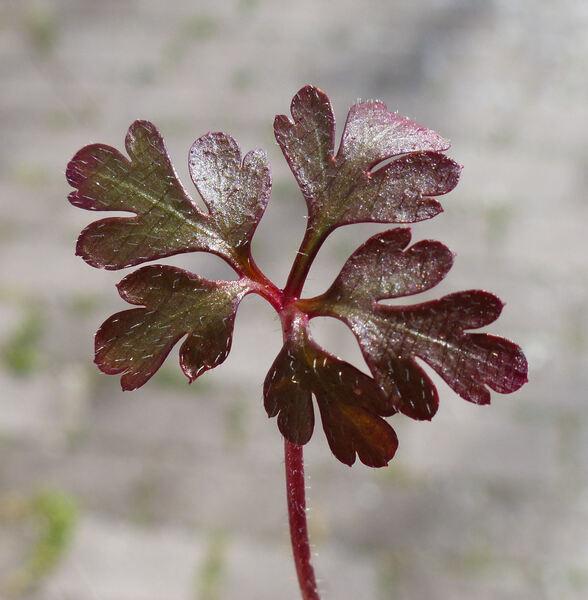 Geranium purpureum Vill.